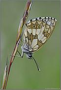 das Weibchen... Schachbrettfalter  *Melanargia galathea*