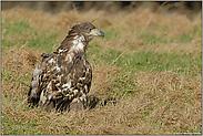 sichernd... Seeadler, juv. *Haliaeetus albicilla* (3/11)