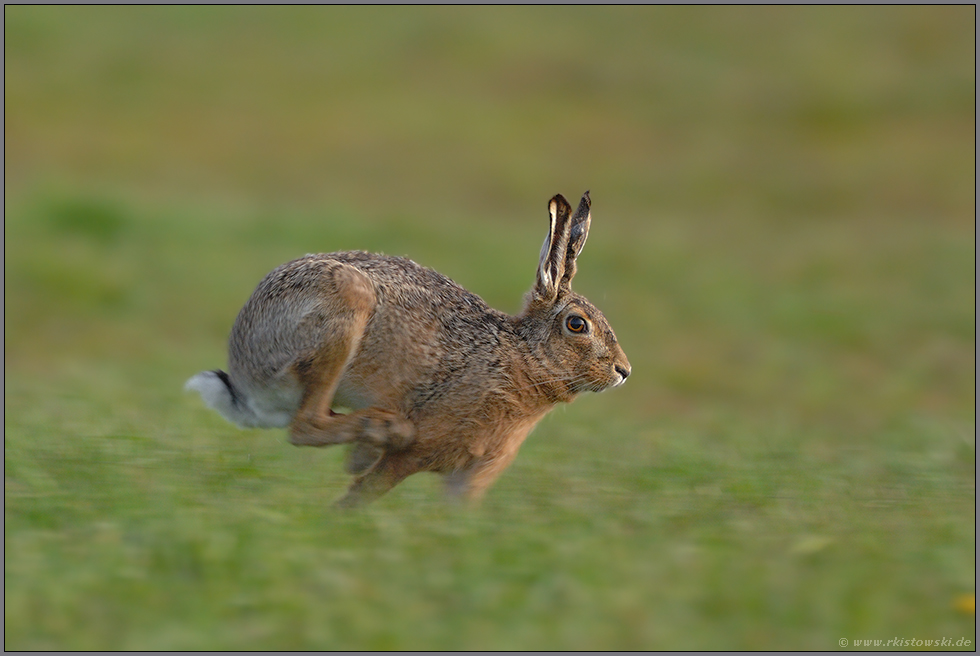 Speed... Feldhase *Lepus europaeus*