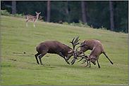 Kampf der Hirsche... Rotwild *Cervus elaphus*