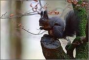 unterwegs auf großen Füßen... Eichhörnchen *Sciurus vulgaris*