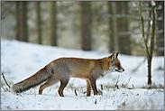 Märchenwald... Rotfuchs *Vulpes vulpes*