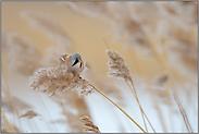 im Wind... Bartmeise  *Panurus biarmicus*