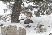 das Rudel... Kojote *Canis latrans*