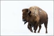 gewaltig... Amerikanischer Bison *Bison bison*