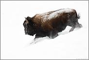 im weißen Nichts...  Amerikanischer Bison *Bison bison*
