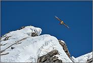 über den Gipfeln... Bartgeier *Gypaetus barbatus*